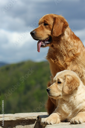 couple de golden retrievers de profil