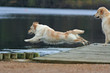 spectaculaire plongeon du golden retriever