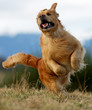 arabesque sportive du golden retriever