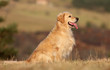 golden retriever assis de profil immobile