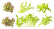 set of lettuce leaves isolated  for food design
