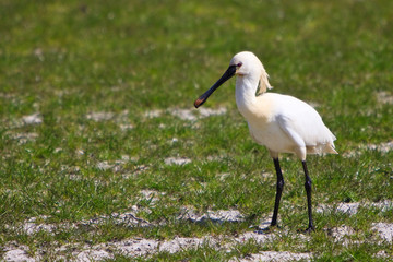Large white spoonbill bird standing in grassland