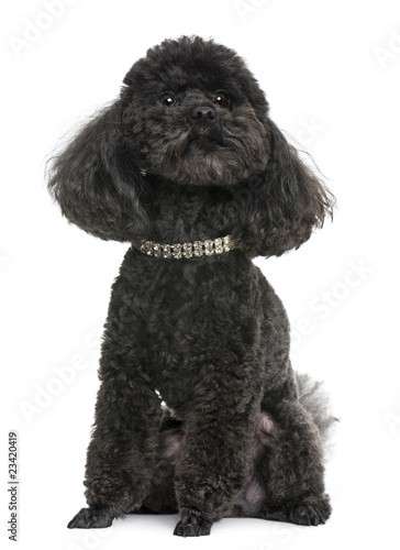 Poster Poodle, 5 years old, with diamond collar