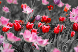 Red tulips - 23420633