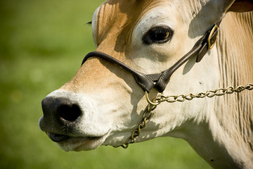 close-up of a cows face