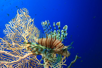 Lionfish on Fan Coral