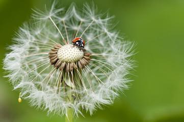 Marienkäfer auf einer Pusteblume