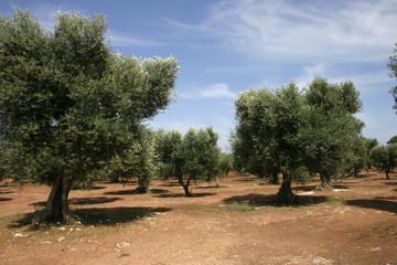 alberi ulivo new2