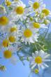 Kamille Matricaria chamomilla im Sonnenlicht Heilpflanze