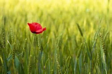 Poppies in a green wheat field.
