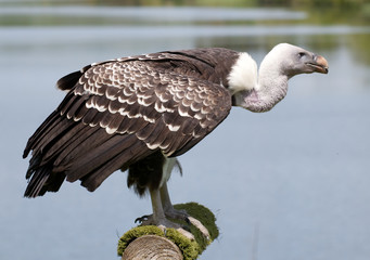 standing vulture in profile