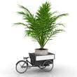 Palme im Topf auf einem Fahrradtransporter