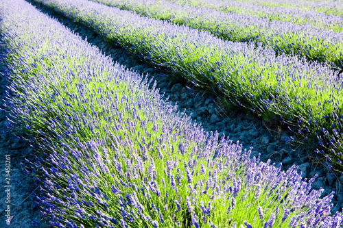 Fototapeta lavender field, Drome Department, Rhone-Alpes, France