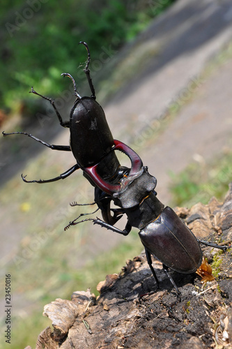 stag beetles in mortal combat
