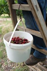 ceuillette des cerises - récolte à la main