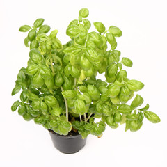Fresh basil plant in black pot on white background