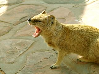 drohender Mungo in Afrika (Kalahari)