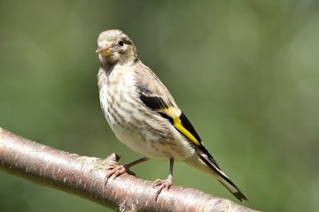 Juvenile European Goldfinch