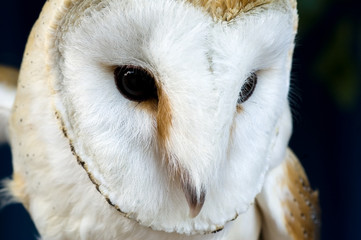 The head of the owl