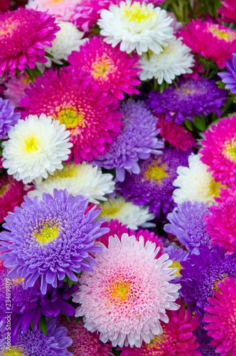 Sommerastern, Astern, Callistephus chinensis, violett