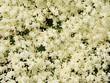 elder white flwers as herbal medicine