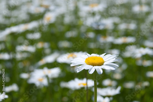 Closeup of chamomile