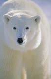 Polar Bear, Churchill, Manitoba, Canada.