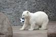 Little white polar bear with ball