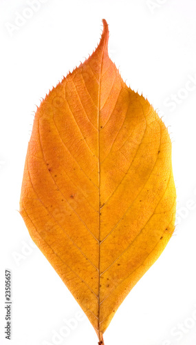 Autumn or fall leaf on white