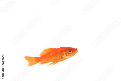 Poisson rouge isol sur fond blanc photo libre de droits for Tarif poisson rouge