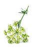 parsley flower