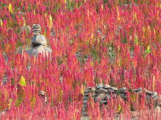 Red quinoa field at Tunupa Volcano, Uyuni, Bolivia.