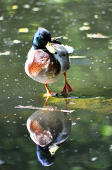 Wilde Ente. Spiegelung