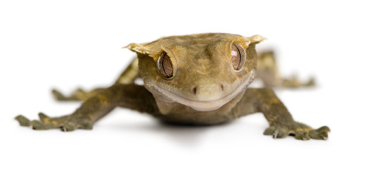 Front view of New Caledonian Crested Gecko