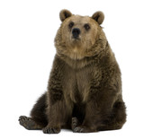 Female Brown Bear, 8 years old, sitting - Fine Art prints