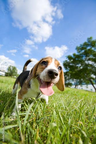 Beagle puppy ビーグル