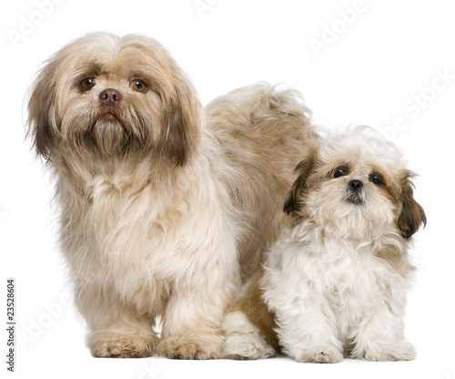 Mother Shih Tzu and her puppy, 3 years old and 3 months old, aga