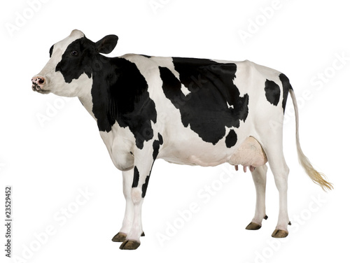 Aluminium Koe Holstein cow, 5 years old, standing against white background