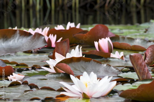 Fotobehang Water planten Lotus Felder. Japan