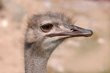 funny ostrich - extremely sharp and detailed.