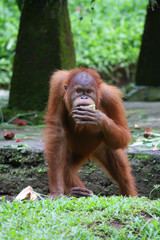 Standing orangutan covering it's mouth