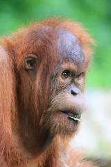 Side profile of an orangutan