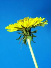 Dandelion - a warm summer morning
