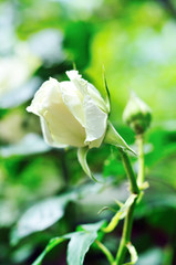 white fresh rose