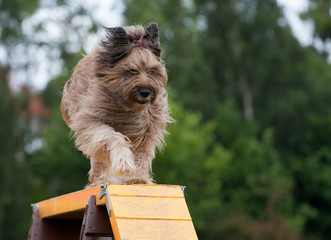 dog running down bridge in agility competition