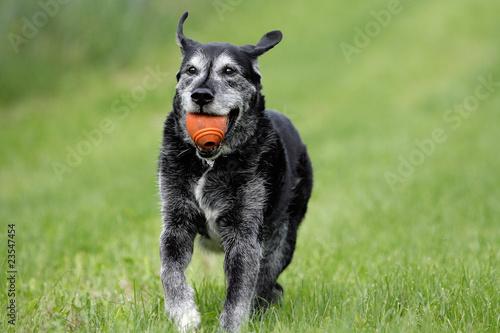 Deurstickers Dragen Mischlingshund mit Ball