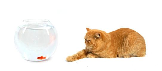 chat persan roux intéressé devant un aquarium