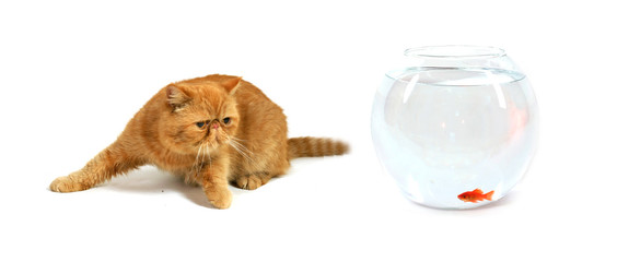 chat persan roux devant un aquarium