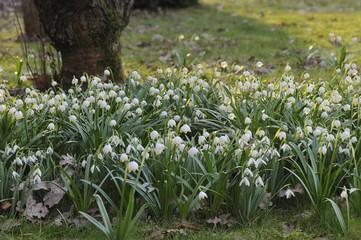 Märzenbecher, Blumen