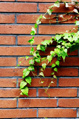background of green ivy and red brick wall